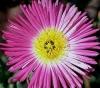 "Mesembryantemum"""