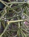 "Rhipsalis cereuscula"""