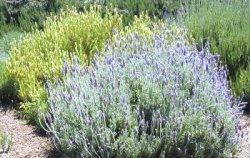 Lavanda - Lavandula angustifolia - Arbusti