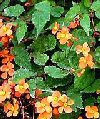 "Begonia sutherlandii"""