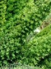 """Asparagus densiflorus"""""""
