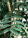 """Castanospermum australe"""""""