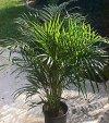 "Chrysalidocarpus lutescens"""