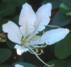 "Bauhinia corniculata"""