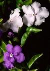 """Brunfelsia pauciflora"""""""