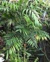 """Chamaedorea elegans"""""""