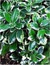 """Corynocarpus laevigata"""""""