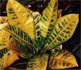 """Codiaeum variegatum"""""""