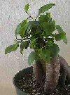 """Ficus ginseng"""""""