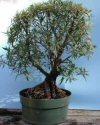 """Ficus neriifolia"""""""