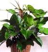 "Philodendron melanocrysum"""