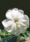 """Gardenia jasminoides"""""""