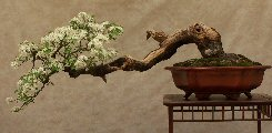 Gli stili bonsai