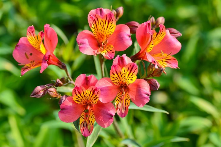 fiore Alstromeria