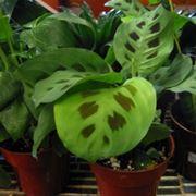 amaranta pianta