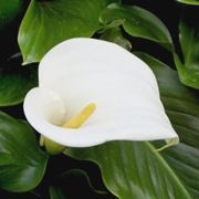 pianta calla
