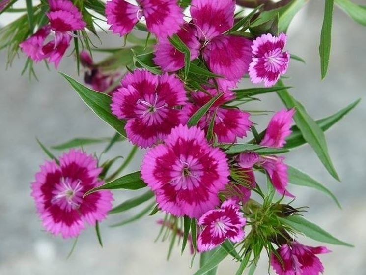 Top Garofano - Linguaggio dei fiori - Garofano - Linguaggio dei fiori AP98