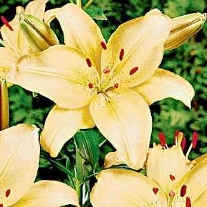 Significato giglio significato fiori giglio linguaggio for Nomi di fiori bianchi