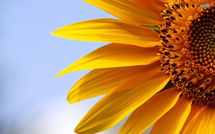 Ben noto significato girasole - Linguaggio dei fiori - fiori di girasole EP51