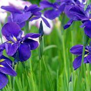 iris significato
