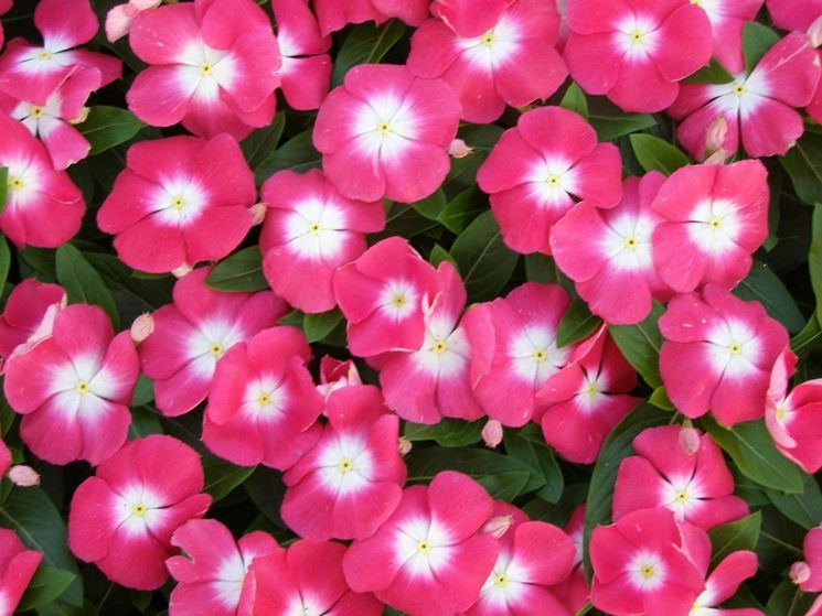 fiorellini vinca