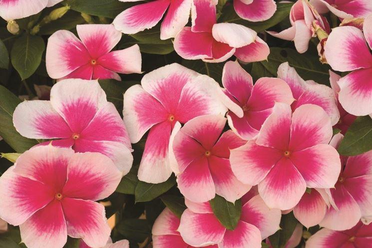 fiori di vinca
