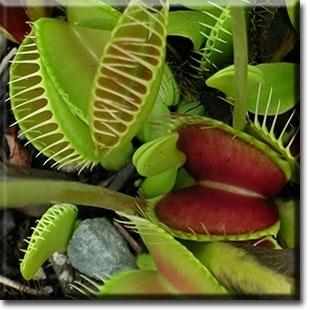 Piante carnivore linguaggio dei fiori piante carnivore for Piante carnivore