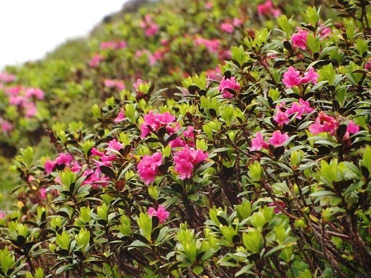 rododendro hirsutum