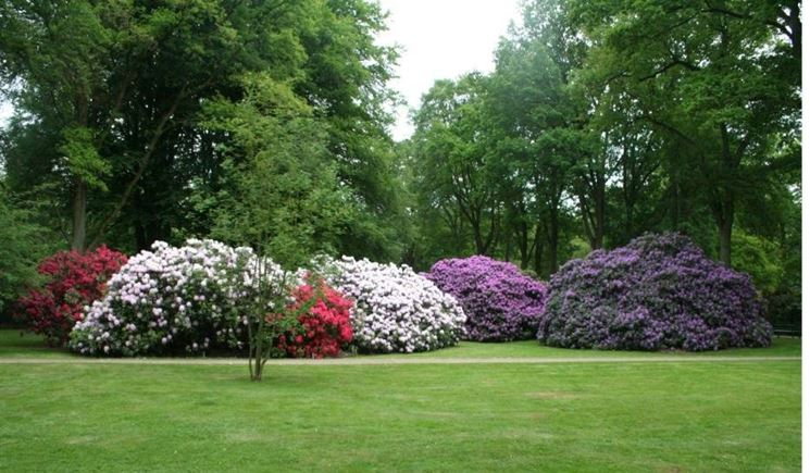 rododendri in fiore