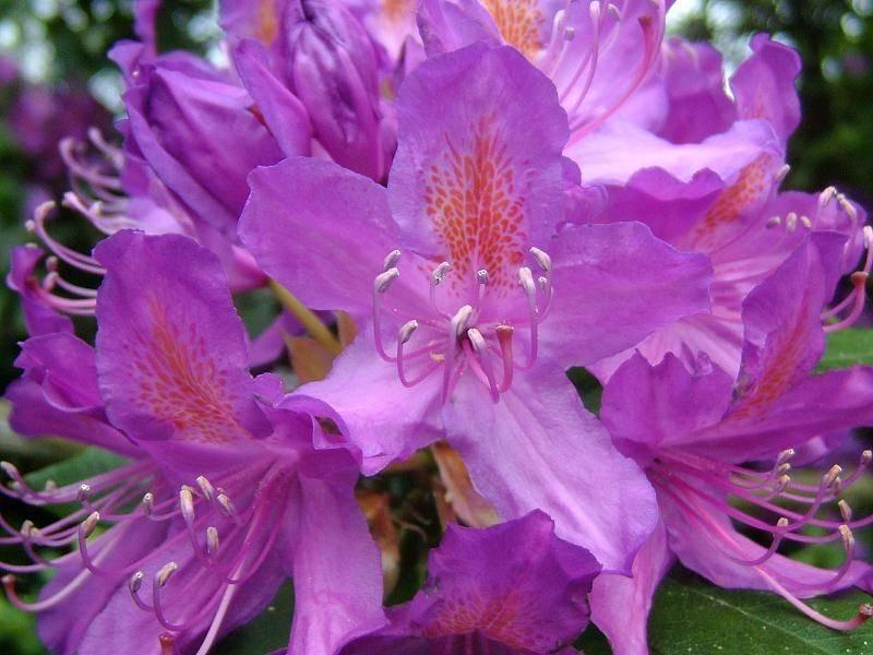Caratteristiche del rododendro