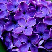 fiori viola nomi