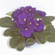 violetta fiore