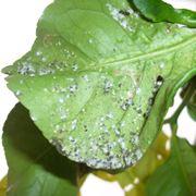 malattie degli agrumi
