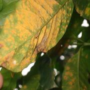 foglie con ruggine