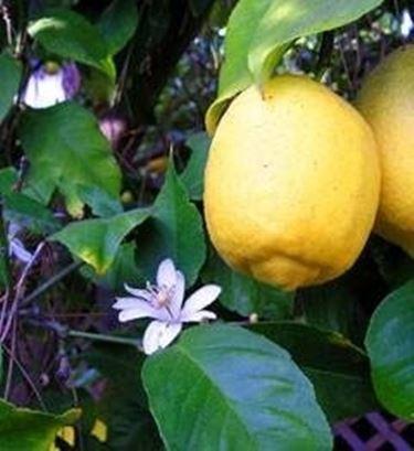 limone non fa frutti