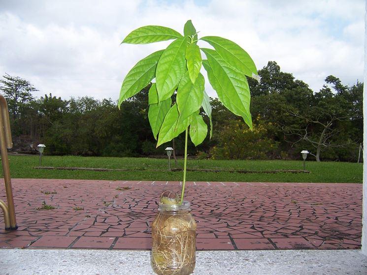 avocado coltivazione