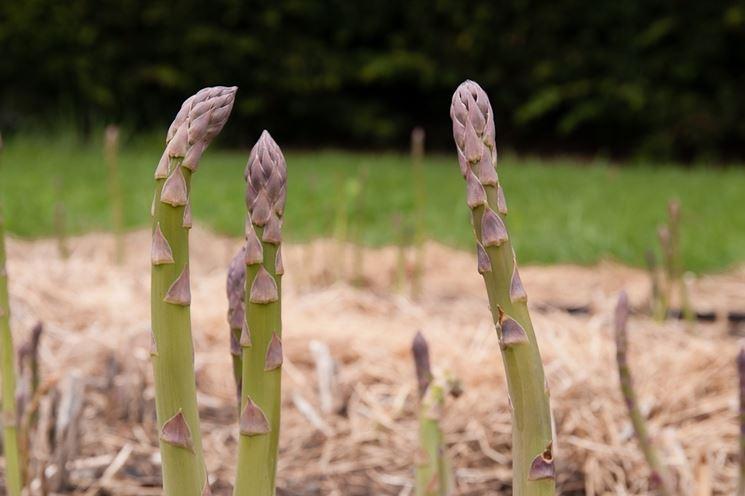 asparagus officinalis