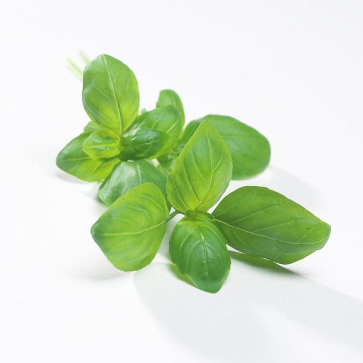 pianta del basilico