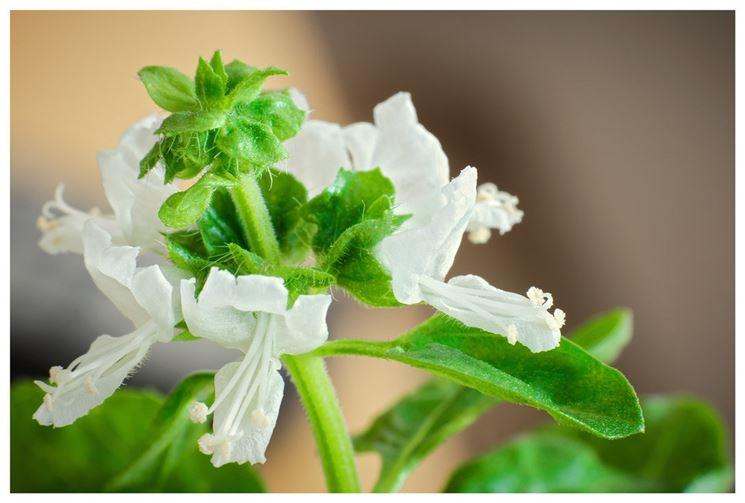 basilico variegato