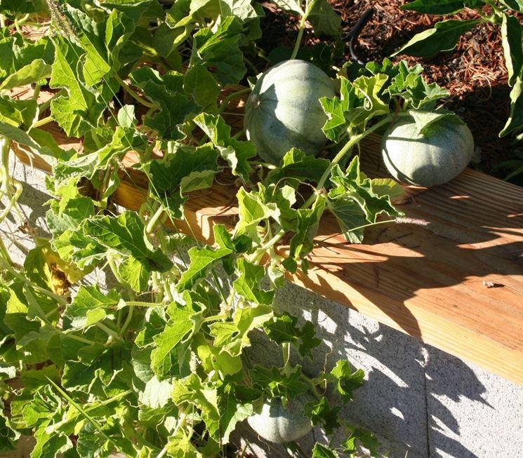 meloni gialli