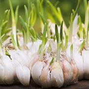 coltivare l aglio