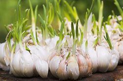coltivazione aglio