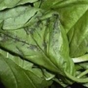 Basilico ocymum basilicum ocymum basilicum orto for Seminare basilico