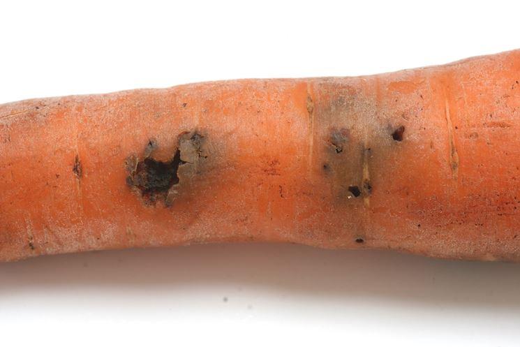 danni da mosca carota