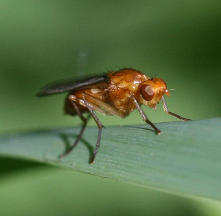 mosca della carota