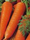 """Daucus carota"""""""