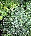 """Brassica oleracea"""""""