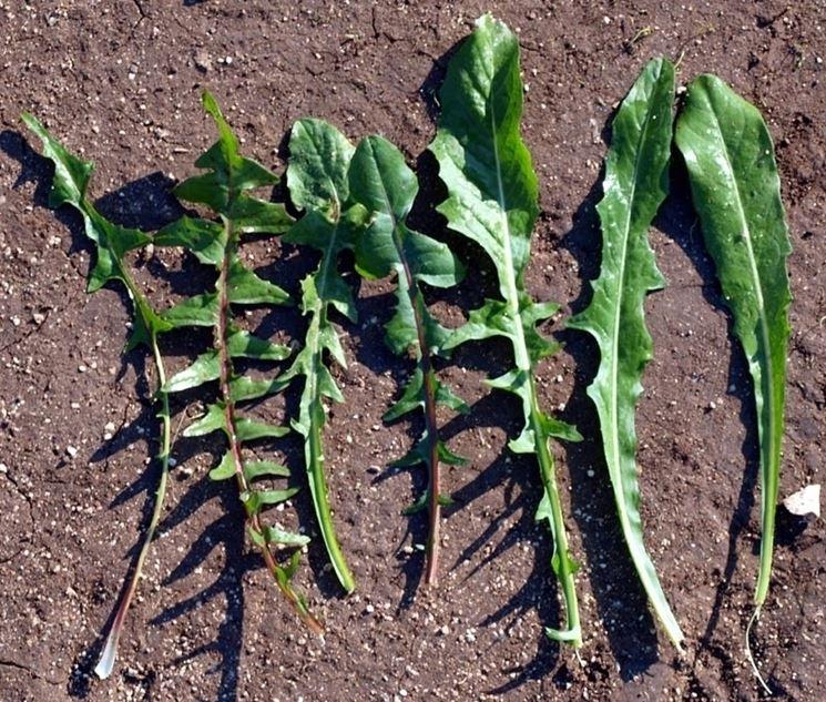 varietà cicoria