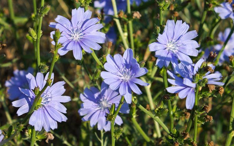 fiori cicoria