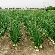 coltivazione cipolle